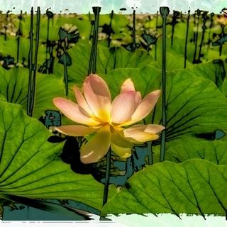 Meditation name: The Lotus Meditation